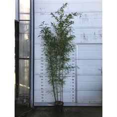 Picture of Phyllostachys bissetii