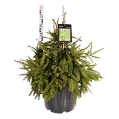 Picture of Picea abies acrocona
