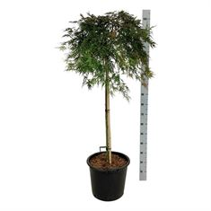 Picture of Acer pal. orangeola