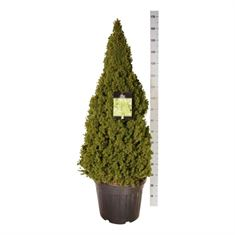 Picture of Picea gl. conica