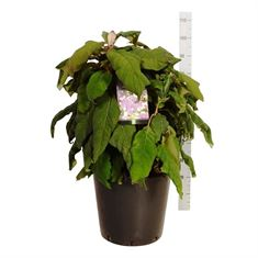 Picture of Hydrangea asp. macrophylla