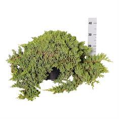 Picture of Juniperus proc. nana