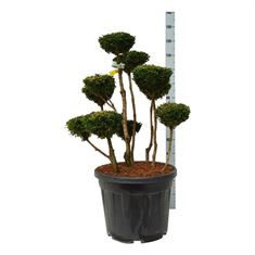 Picture of Buxus sempervirens topiary