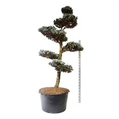 Picture of Picea pung. hoopsii