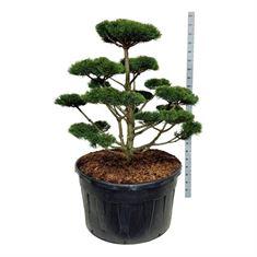 Picture of Pinus mugo Gnom