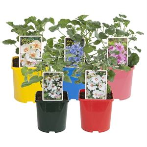 Picture of Malva in varieties