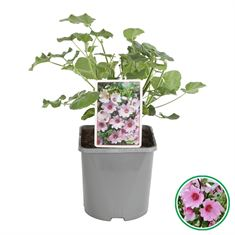 Picture of Lavatera Baby Barnsley