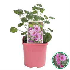 Picture of Lavatera olbia Rosea