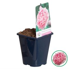 Picture of Paeonia lactiflora light pink