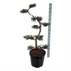 Picture of Juniperus virg. grey owl