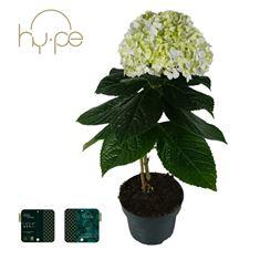 Picture of Hydrangea Avantgarde Blue