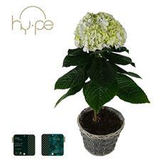 Picture of Hydrangea Avantgarde Blue - In basket