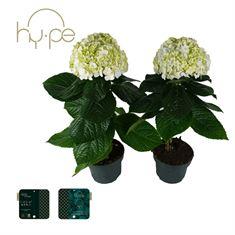Picture of Hydrangea Avantgarde Mix