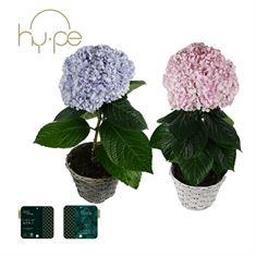 Picture of Hydrangea Avantgarde Mix - In basket