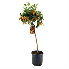 Picture of Citrus kumquat