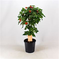 Picture of Abutilon Red Trumpet