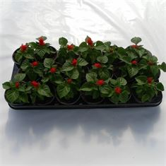 Picture of Salvia red