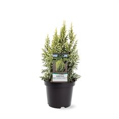 Picture of Juniperus pingii Hulsdonk Yellow (pbr)